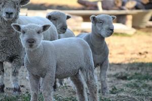 2015 lambs