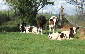 heifer-rearing